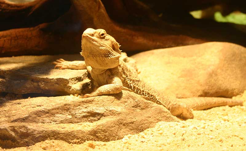 Bearded Dragon Reptile Cage Decor And Accessories Options