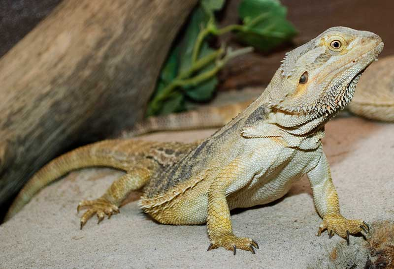 Reptiles Pets Australia These Reptile Pets Are Docile
