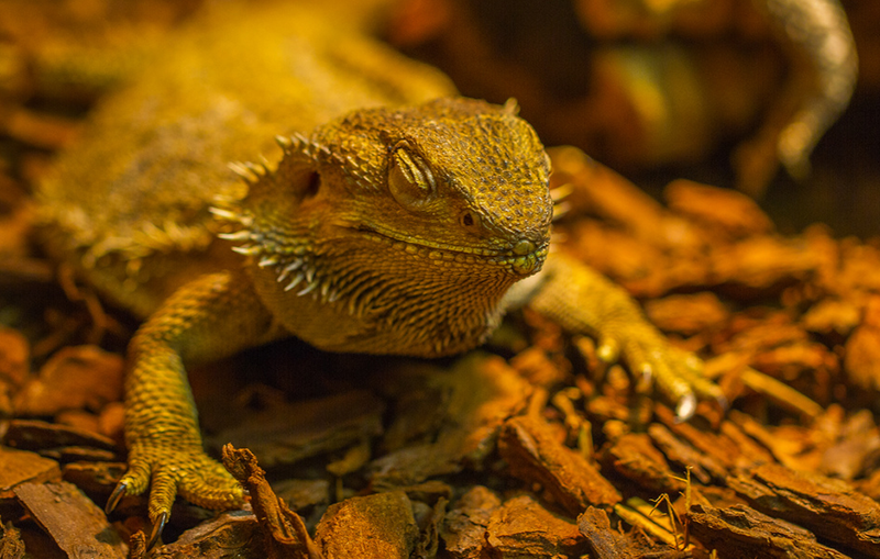 Baby Bearded Dragon Care Check