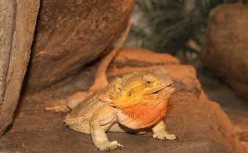 Bearded Dragons - Bearded Dragon Care