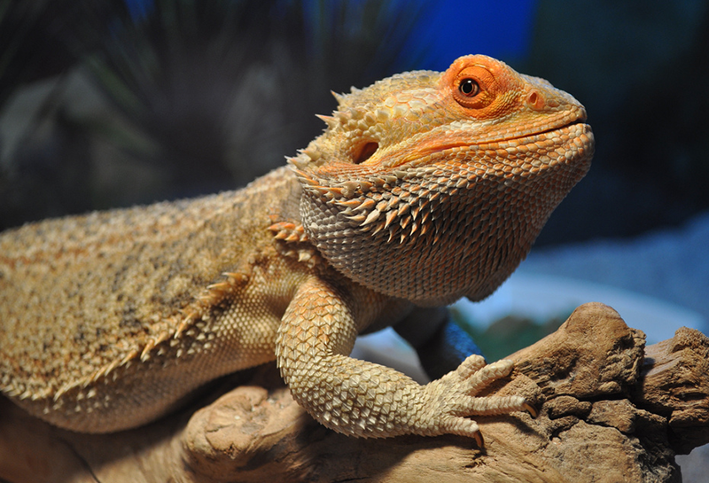 Uploaded To Wikipedia Mons By Aka Bearded Dragons
